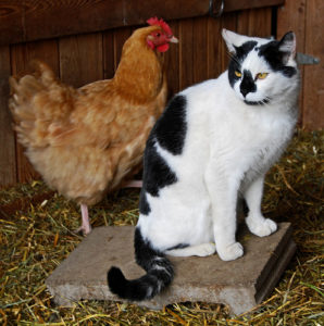 Can-Cats-Eat-Chicken