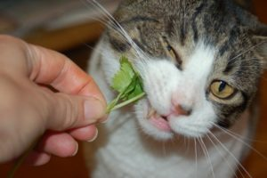 Can-Cats-Eat-Cilantro