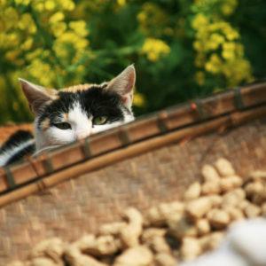 Can-Cats-Eat-Peanuts