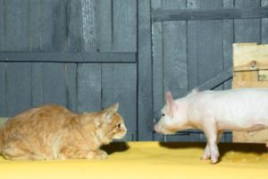 Can-Cats-Eat-Pork