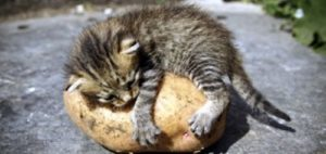 Can-Cats-Eat-Potatoes