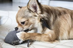 cute chihuahua puppy chewing on toy