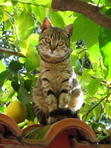 Can-Cats-Eat-Lemon