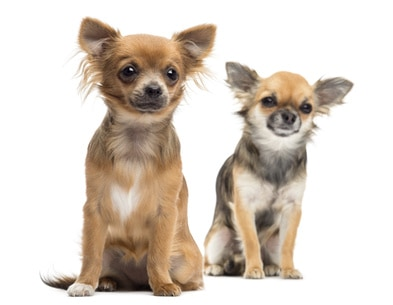 chihuahua temperament male vs female
