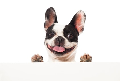 do french bulldogs shed