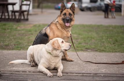 German Shepherd Lab Mix Personality