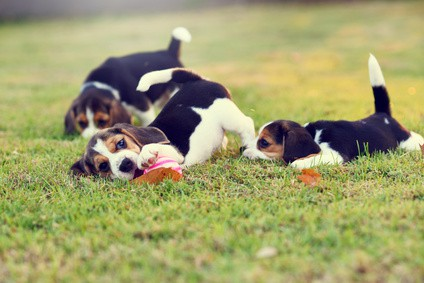 Why Not Get a Beagle
