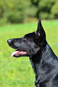 black-german-shepherd