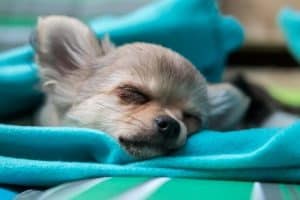 chihuahua eyes closed