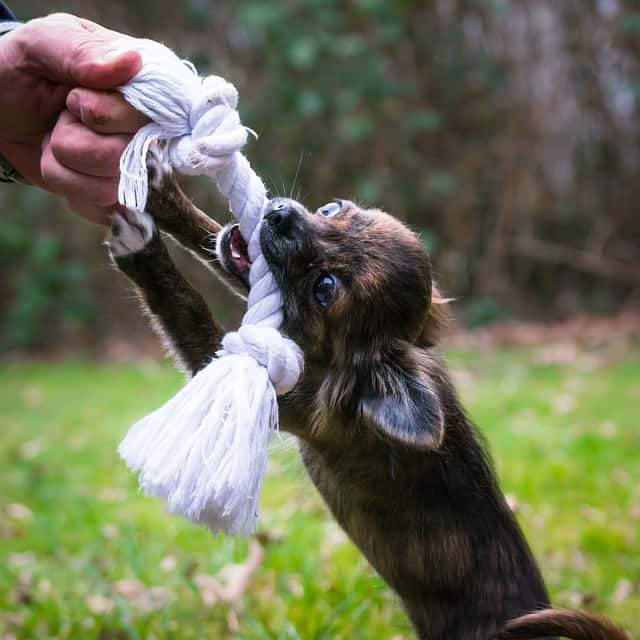 Chihuahua-Toys-Dog-Bite