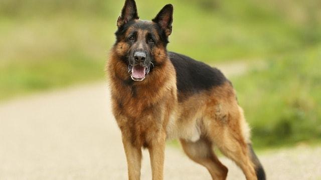 German-Shepherd-Dog-Friend