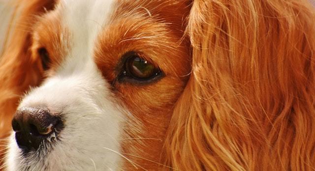 dog food for cavalier king charles spaniel
