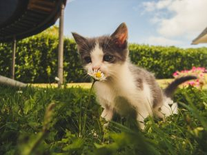 white-and-grey-kitten-smelling-white-daisy-flower