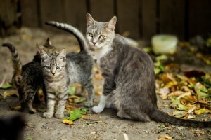silver-tabby-cat-and-kittens