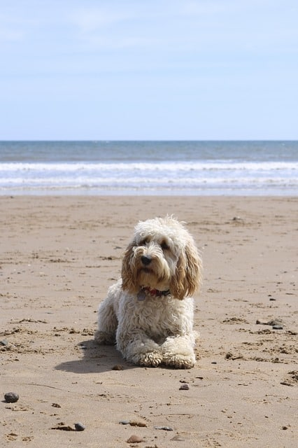 cockapoo dog playing on beach