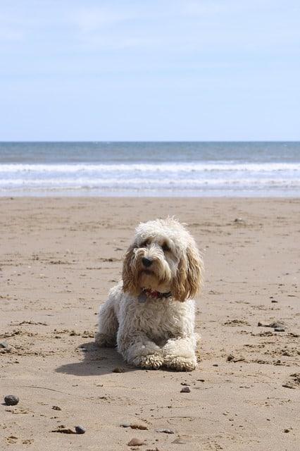 cockapoo dog playing on beach