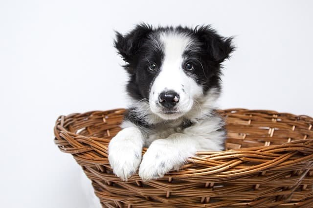 border collie puppy in basket