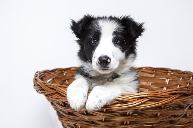 border collie puppy in basket