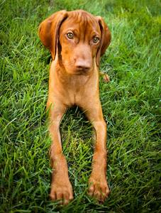 puppy food for vizsla
