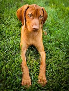 puppy food for vizsla