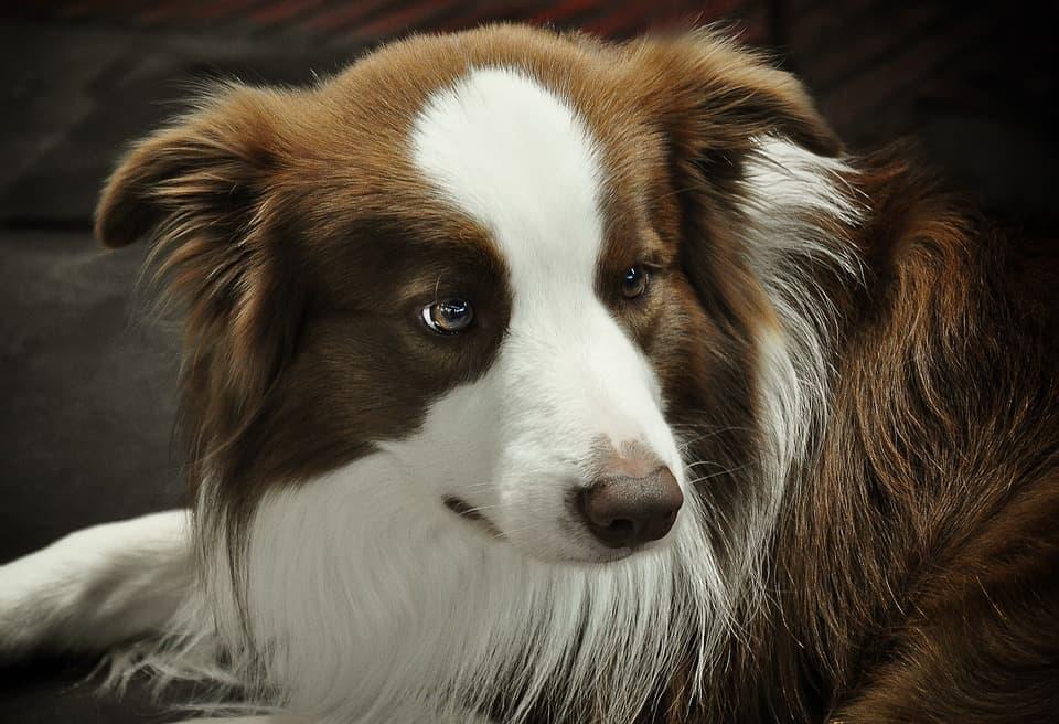 groomed beagle border collie mix