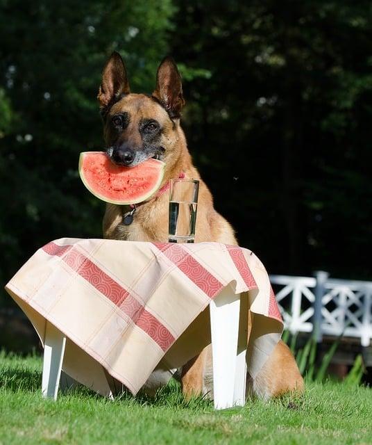 belgian malinois husky mix eating watermelon