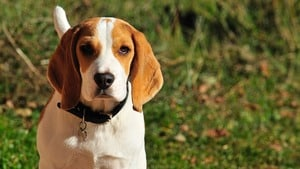 dog food for beagles