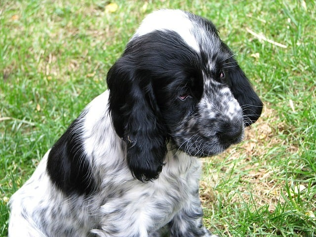 best dog food for cocker spaniel with allergies