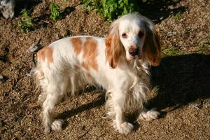 dog food for cocker spaniel with allergies