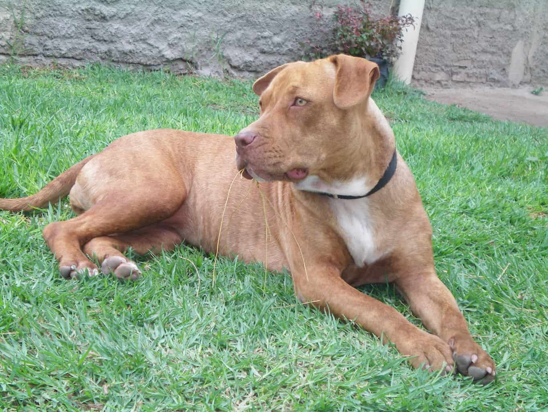 pitbull american bulldog mix observing