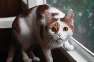 orange-and-white-cat-on-window