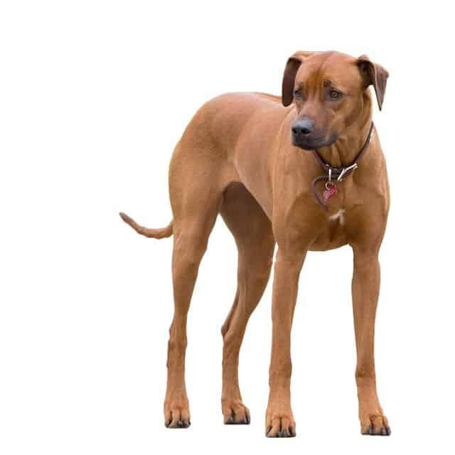 best dog food for rhodesian ridgeback