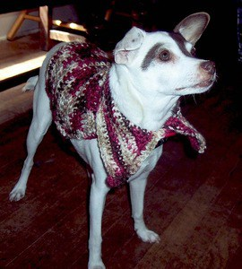 dressed up rat terrier