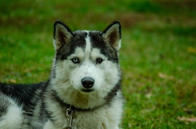 boxer husky on grass