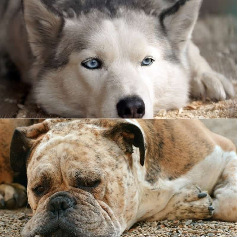 boxer husky mix breeds