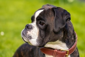 what is the best food to feed a boxer puppy