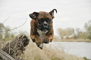 best dog food for senior boxers