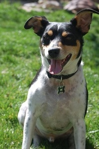 rat terrier dog smiling