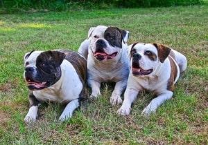 food for american bulldog puppy