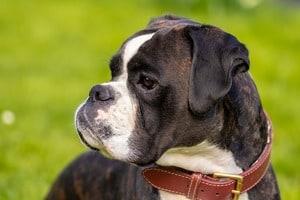 Boxer dog outside
