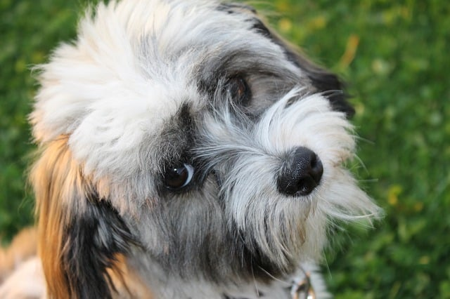 havanese dog up close