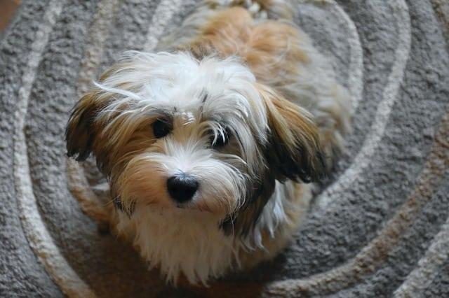 havanese dog at home