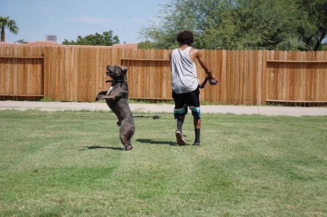 pitbull boxer mix playing