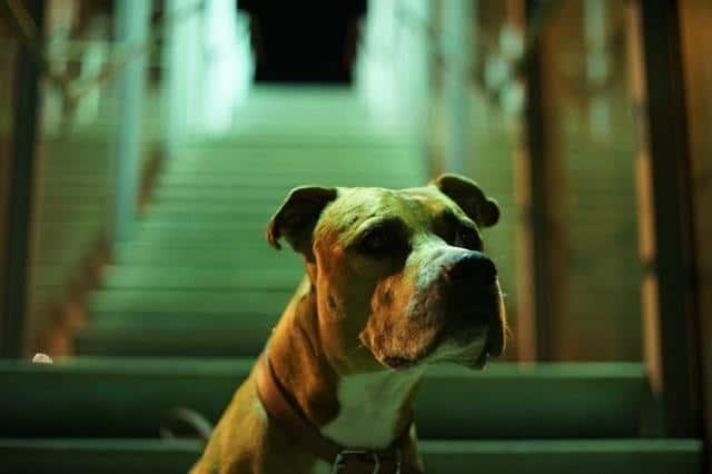 pitbull boxer mix guarding