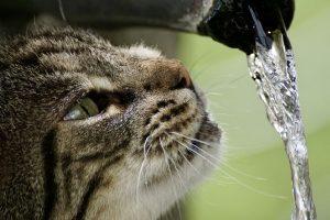 cat getiegert tiger fur cute eyes thirst water