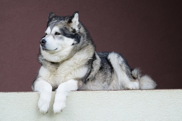 how much should i feed my alaskan malamute
