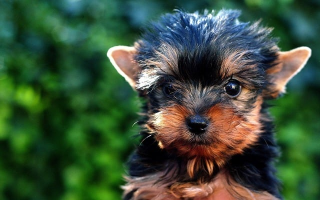 how many litters can a yorkie have