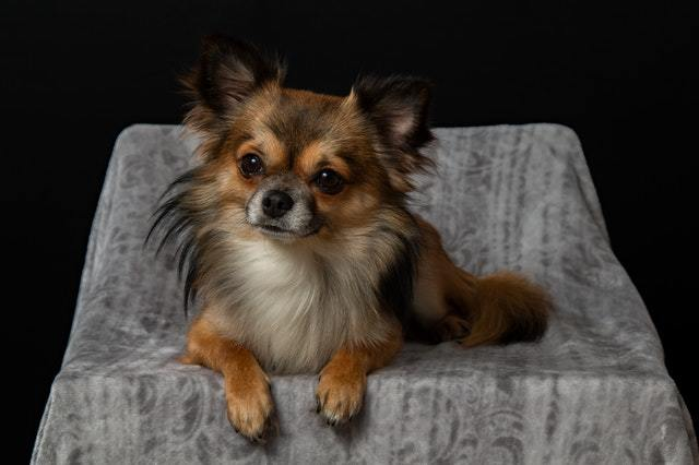 best shampoo for long haired chihuahua