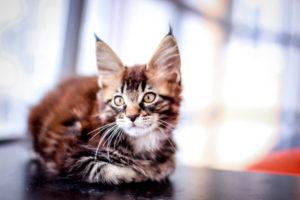 Maine Coon kitten on black table