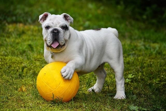 english-bulldog